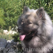 Photo d'Eurasier