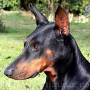 Photo de Dobermann