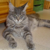 Photo de Maine coon