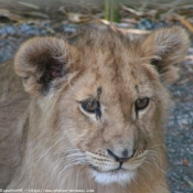 Photo de Lion