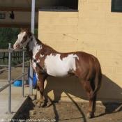 Photo de Paint horse