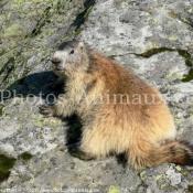 Fond d'écran avec photo de Marmotte