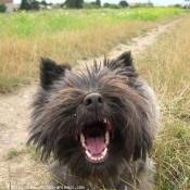 Photo de Cairn terrier