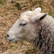 Photo de Mouton