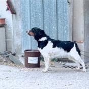 Photo d'Epagneul breton