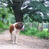 Photo de Saint-bernard poil long