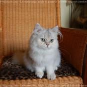 Photo de British longhair