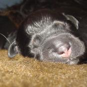 Photo de Chien de berger de la serra aires