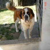 Photo de Saint-bernard poil long