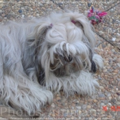 Photo de Lhassa apso