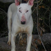 Photo de Bull terrier miniature