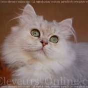 Photo de British longhair