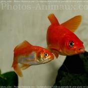 Photo de Poissons rouges