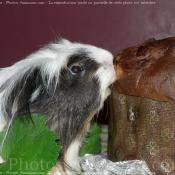 Photo de Cochon d'inde