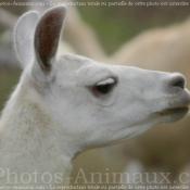 Photo de Lama