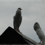 Photo de Pigeon