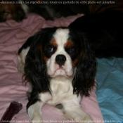 Photo de Cavalier king charles spaniel