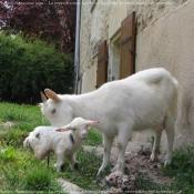 Photo de Chèvre