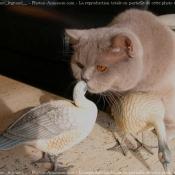 Photo de British shorthair