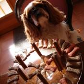 Photo de King charles spaniel