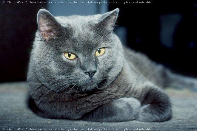 Photo de Chartreux