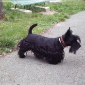 Photo de Scottish terrier