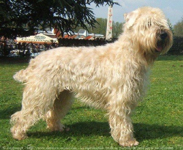 Photo de Terrier irlandais à poils doux