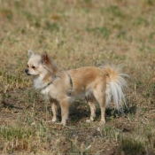 Photo de Chihuahua à poil long