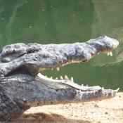 Photo de Crocodile