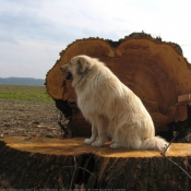 Photo de Chien de berger yougoslave de charplanina