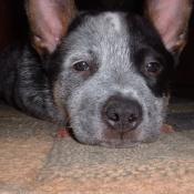Photo d'Australian cattle dog