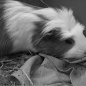 Photo de Cochon d'inde - croisement