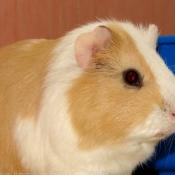 Photo de Cochon d'inde - poils lisses / ras