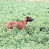 Photo de Rhodesian ridgeback