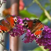Photo de Papillon - paon du jour