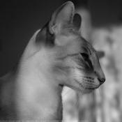 Photo de Siamois