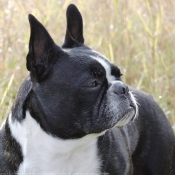 Photo de Boston terrier