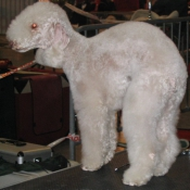 Photo de Bedlington terrier