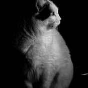 Photo de Chat domestique