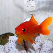 Photo de Poisson rouge