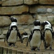 Photo de Pingouin