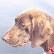 Photo de Braque allemand à poil court