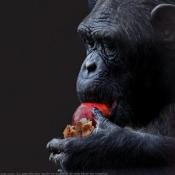 Photo de Singe - chimpanzé