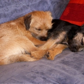 Photo de Border terrier