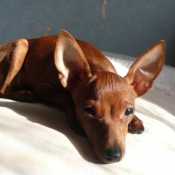Photo de Pinscher allemand