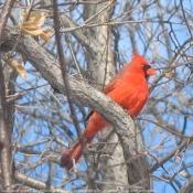 Photo de Cardinal rouge
