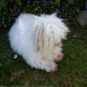 Photo de Coton de tulear
