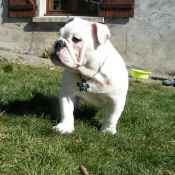 Photo de Bulldog