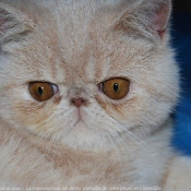 Photo d'Exotic shorthair