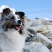 Photo de Chien de berger des shetland